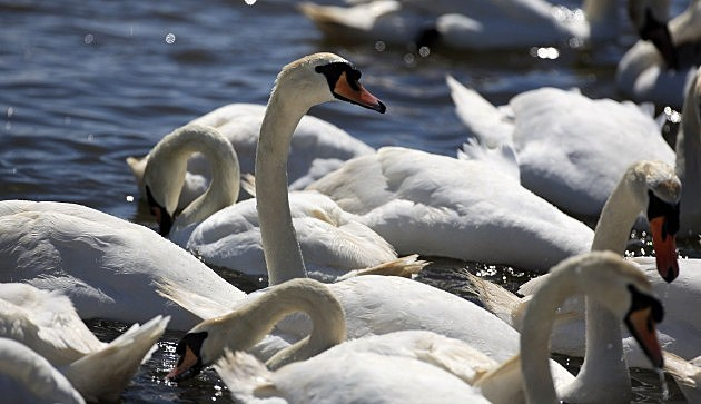 Swans a-swimming.